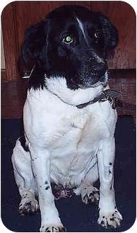 Springer Spaniel Mix Dog for adoption in Owatonna, Minnesota - Shelby