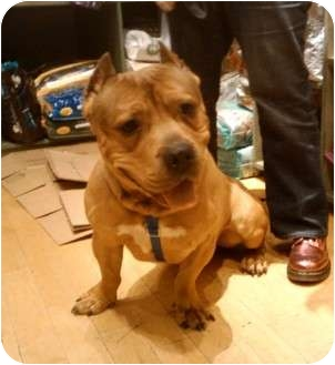 American Pit Bull Terrier Mix Dog for adoption in Brooklyn, New York - Gully