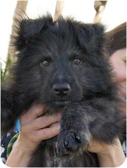 German Shepherd Dog/Chow Chow Mix Puppy for adoption in Houston, Texas - Chewbaka (remarkable!)