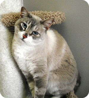 Siamese Cat for adoption in Rock Springs, Wyoming - Gertrude
