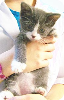 Domestic Shorthair Kitten for adoption in Toledo, Ohio - Chance