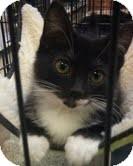 Domestic Shorthair Kitten for adoption in Modesto, California - Talya