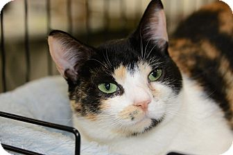 Calico Cat for adoption in Harrisburg, North Carolina - Geisha