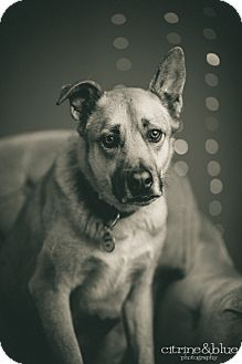 German Shepherd Dog Mix Dog for adoption in Portland, Oregon - Chloe
