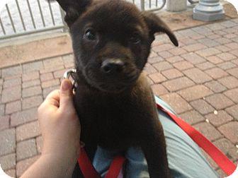 Shiba Inu/Chow Chow Mix Puppy for adoption in Largo, Florida - Latte