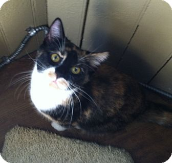 Domestic Shorthair Kitten for adoption in Greensburg, Pennsylvania - Kya Mae