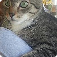 Domestic Shorthair Cat for adoption in Pasadena, California - Goose