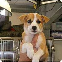 Adopt A Pet :: Cindy - Alexandria, VA