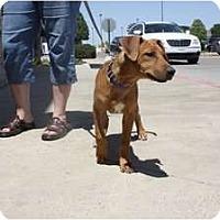 Adopt A Pet :: Dex - Arlington, TX