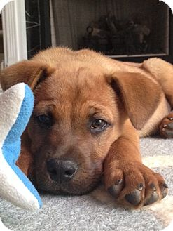 Labrador Retriever/Golden Retriever Mix Puppy for adoption in Westport, Connecticut - Charlie