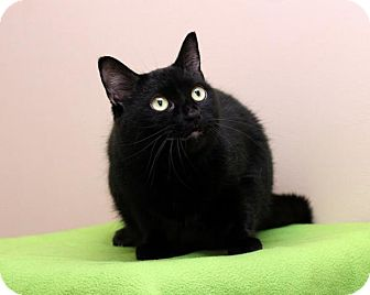 Domestic Shorthair Cat for adoption in Bellingham, Washington - Lucy