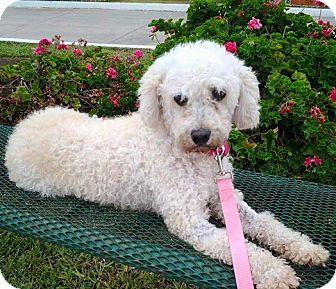 Poodle (Miniature) Dog for adoption in Santa Monica, California - PENNY