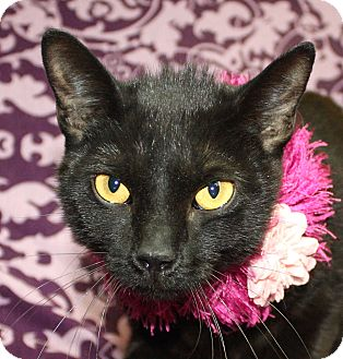 Domestic Shorthair Cat for adoption in Jackson, Michigan - Martina