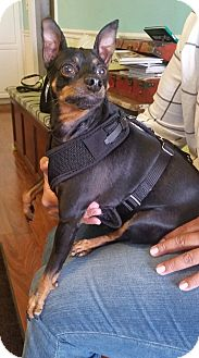 Miniature Pinscher Mix Dog for adoption in Freeport, New York - McCoy