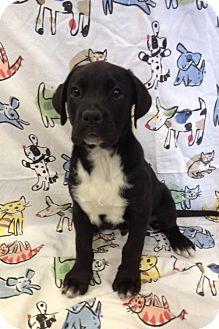 American Bulldog Puppy for adoption in House Springs, Missouri - Black AB Boy