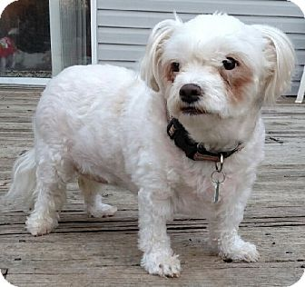 Maltese Dog for adoption in West Harrison, New York - Nena*Adopted