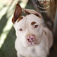 American Staffordshire Terrier Mix Dog for adoption in Toluca Lake, California - Droopy
