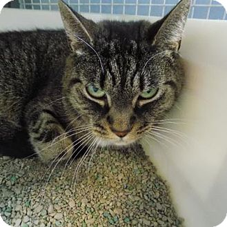 Domestic Shorthair Cat for adoption in Edwardsville, Illinois - Mindy