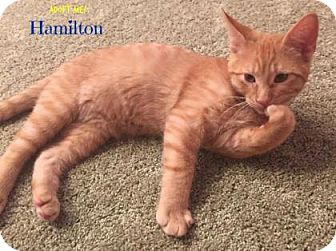 Domestic Shorthair Kitten for adoption in West Des Moines, Iowa - Hamilton