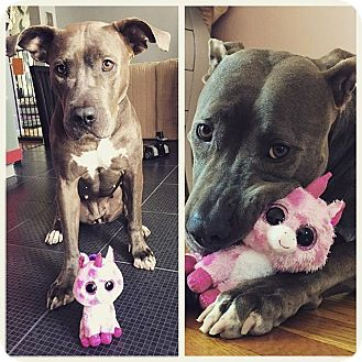 Pit Bull Terrier Mix Dog for adoption in Brooklyn, New York - Dulce