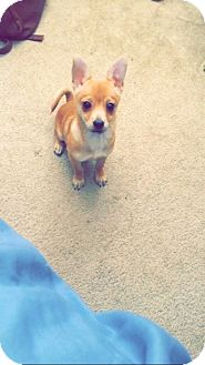 Chihuahua/Basenji Mix Puppy for adoption in Phoenix, Arizona - Kanga