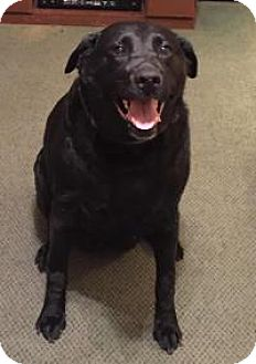 Labrador Retriever Dog for adoption in North Haven, Connecticut - Kara