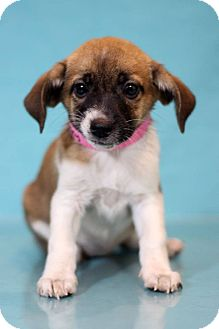 Beagle Mix Puppy for adoption in Waldorf, Maryland - Cheney