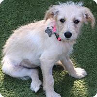 Adopt A Pet :: Puppies -Kirby, Blondie,Millie - Norwalk, CT