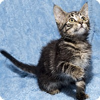 Adopt A Pet :: Saturn - Mt. Prospect, IL