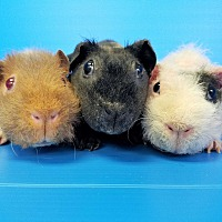 Guinea Pig for adoption in Lewisville, Texas - Paisley, Pippa and Trinity