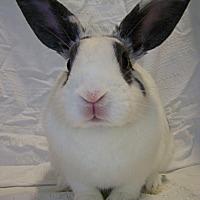 Adopt A Pet :: Lacey - Alexandria, VA