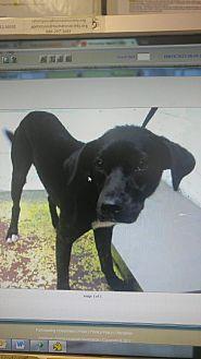 Labrador Retriever/Border Collie Mix Dog for adoption in Acworth, Georgia - Wylie