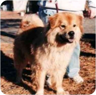 Golden Retriever/Chow Chow Mix Dog for adoption in Aldie, Virginia - Apollo