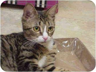 Domestic Shorthair Cat for adoption in Deerfield Beach, Florida - Stephanie