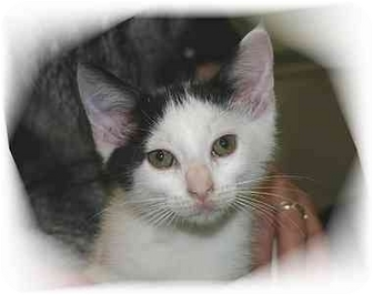 Domestic Shorthair Cat for adoption in Montgomery, Illinois - Johnny