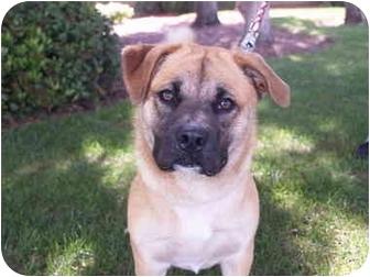 Corgi/Chow Chow Mix Dog for adoption in El Cajon, California - Cookie