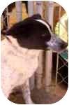 Border Collie Puppy for adoption in Phelan, California - OREO