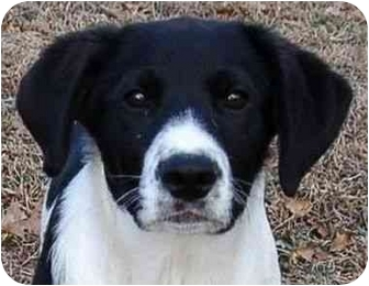 Labrador Retriever/Great Pyrenees Mix Puppy for adoption in Portland, Maine - Tuffy (AE)