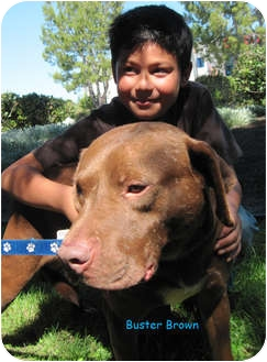American Pit Bull Terrier/Labrador Retriever Mix Dog for adoption in Poway, California - Buster Brown