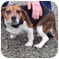 Photo 1 - Beagle Mix Dog for adoption in Somerset, Pennsylvania - Molly