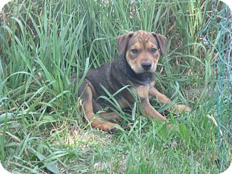Great Dane/Labrador Retriever Mix Puppy for adoption in Wauseon, Ohio - April