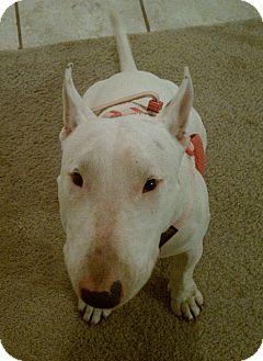 Bull Terrier Dog for adoption in Houston, Texas - Blanca