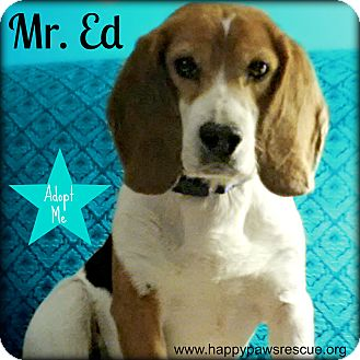 Beagle Mix Dog for adoption in South Plainfield, New Jersey - Mr. Ed