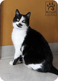 Domestic Shorthair Cat for adoption in Lancaster, Massachusetts - Ava