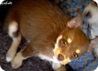 Chihuahua/Poodle (Miniature) Mix Puppy for adoption in north hollywood, California - Jinjer
