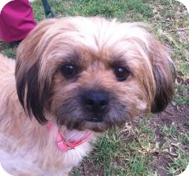 Lhasa Apso Mix Dog for adoption in Encino, California - Rusty