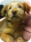 Goldendoodle/Wheaten Terrier Mix Puppy for adoption in Boulder, Colorado - River