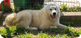 Great Pyrenees Mix Dog for adoption in Pilot Point, Texas - SNOWBALL