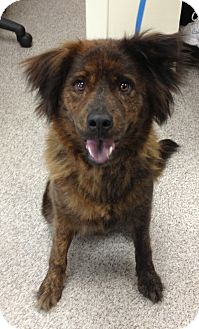 Chow Chow/Shepherd (Unknown Type) Mix Dog for adoption in Gainesville, Florida - Marley
