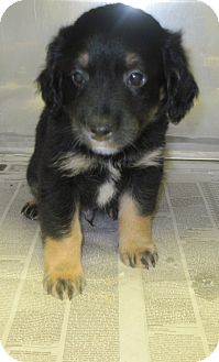 Rat Terrier/Cocker Spaniel Mix Puppy for adoption in Buford, Georgia - Peter